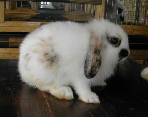 Of course it's dwarf of French Lop… :D. Dwarf Lop Eared rabbits