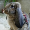 giant-rabbit_french-lop