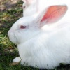 large-rabbit_new-zealand-white