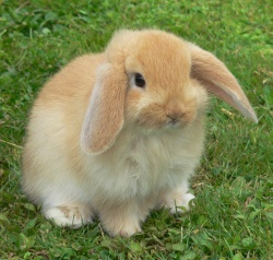 Mini-Lop-rabbit