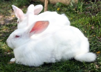 New-Zealand-White-rabbits