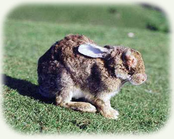 Myxomatosis infected rabbit