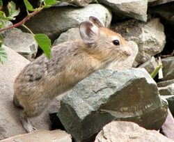 Rabbit-rodent_Pika