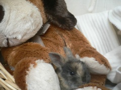 rabbits-photos_teddy